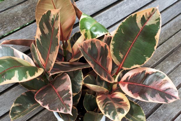 Ficus elastica 'Ruby'