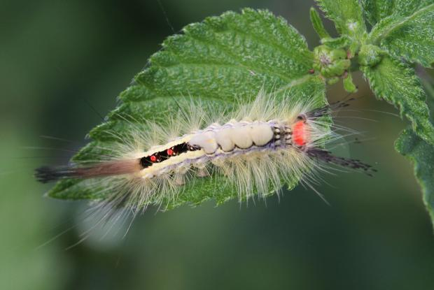 White-marked tussock moth