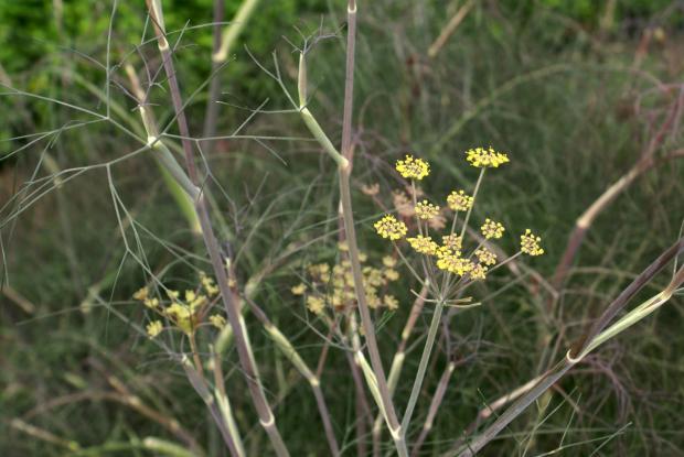 Foeniculum vulgare (gr. Dulce) 'Pupurascens'