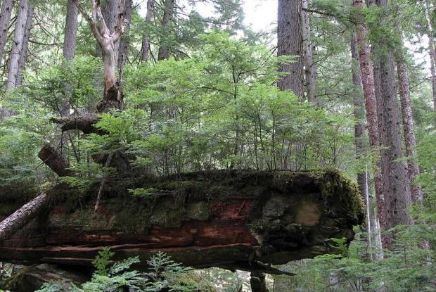 Forêt tempérée pluvieuse.