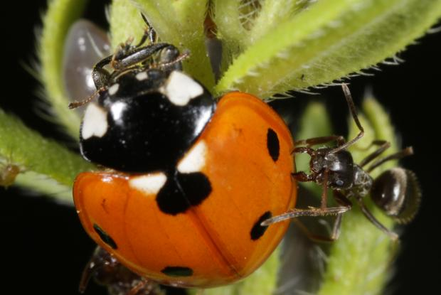 Attack of a ladybird beetle, Québec, Canada.