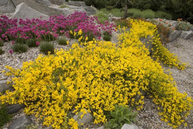 Genista sp. and Armeria maritima 'Düsseldorfer Stolz', Alpine Garden