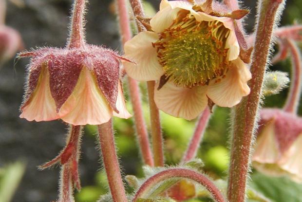 Geum rivale ssp. Islandicum.