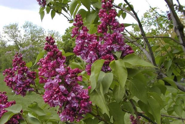 Syringa vulgaris 'Mrs.Edward Harding'