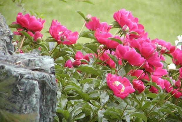 Paeonia cv.