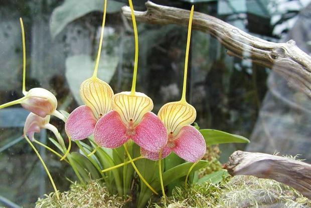 L'orchidée Masdevallia caudata 'Janet' AM/AOS dans un terrarium