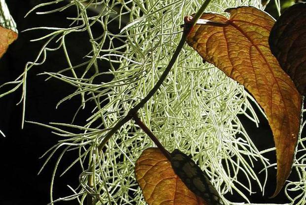 Tillandsia usneoides et Cissus discolor