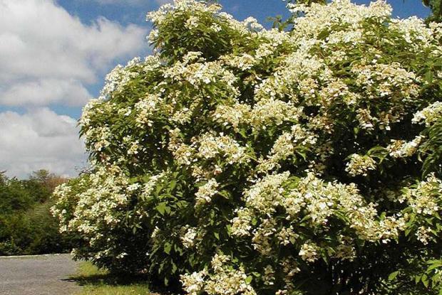 Hydrangea heteromalla 'Bretschsneideri'