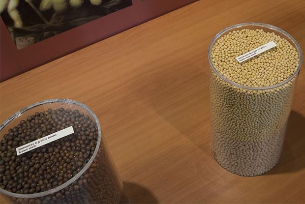 Des semences de soya dans des pots.