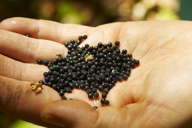 SEM'Ail Wild leek seeds