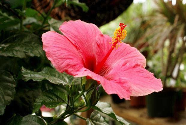 Hibiscus   Espace pour la vie