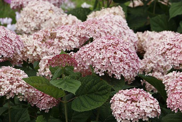 Une hydrangée arborescente en fleurs