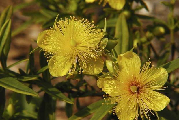 Hypericum buckleii