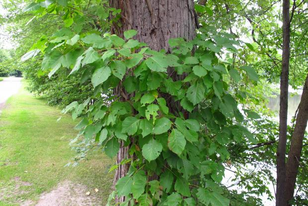 Poison ivy (Toxicodendron radicans) - Climbing form