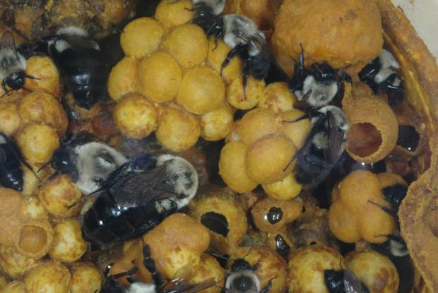 Nest of Bombus impatiens