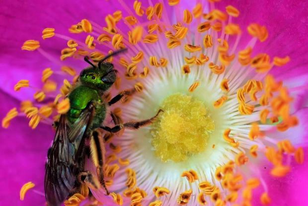 Agapostemon virescens