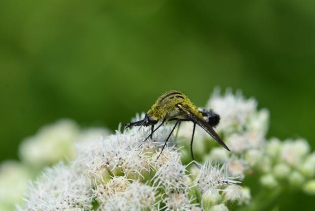 Bee flies
