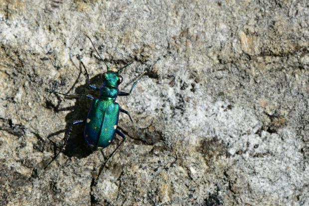 Six-spotted tiger beetle | Space for life
