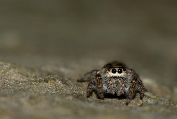 Jumping spiders | Space for life