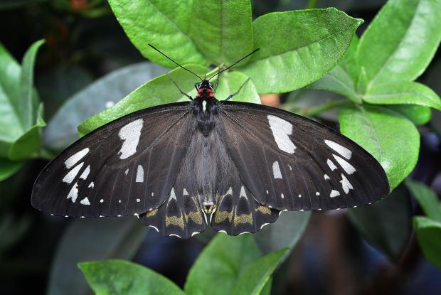 Ornithoptera priamus (femelle)