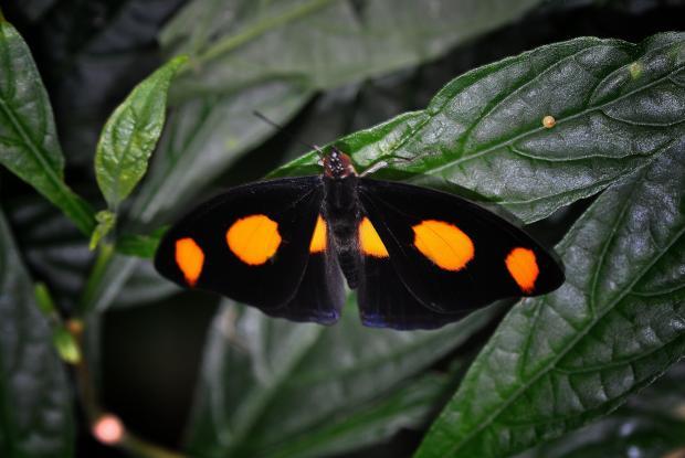 Catonephele numilia (mâle)