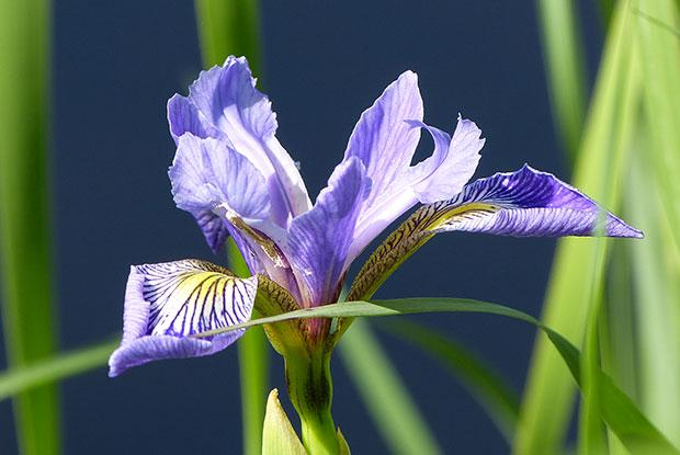 Harlequin blue flag (Iris versicolor) is the official floral emblem of Québec