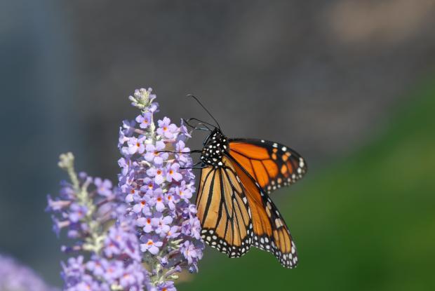 5 - Arbuste à papillons