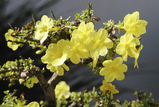 Jasminum nudiflorum 'Nanum'