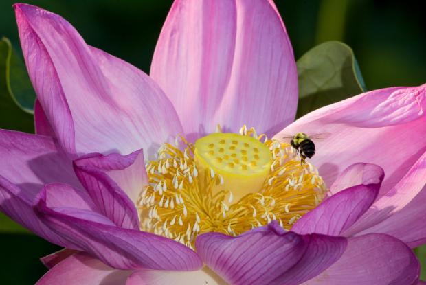 Lotus Espace Pour La Vie