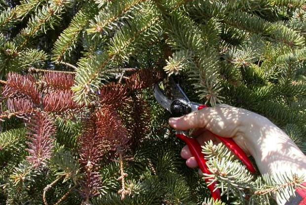 Conifer - Maintenance pruning