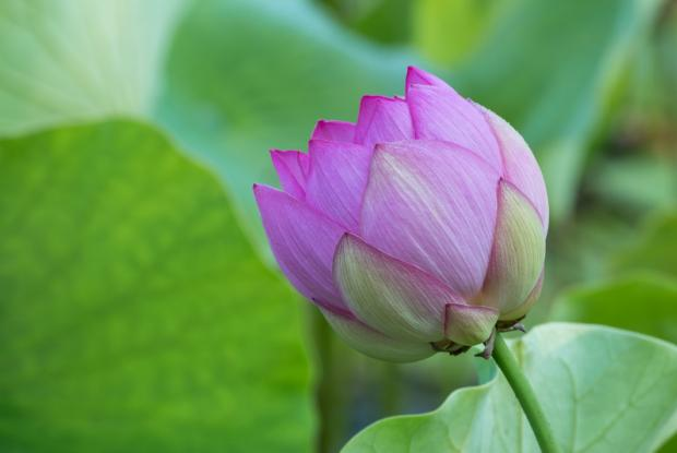 Lotus d'Orient (Nelumbo nucifera)