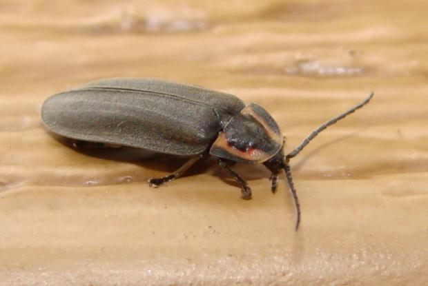 Lampyridae, Québec, Canada.