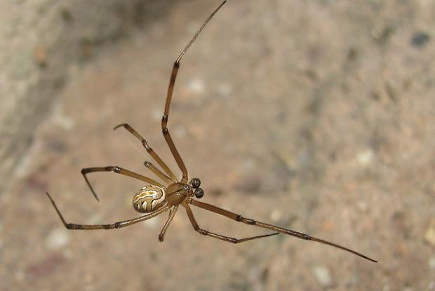 Latrodectus hesperus, female - western black widow