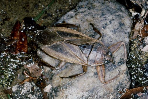 Lethocerus americanus, Québec, Canada.