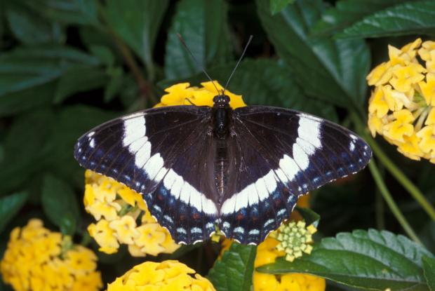 White admiral | Space for life