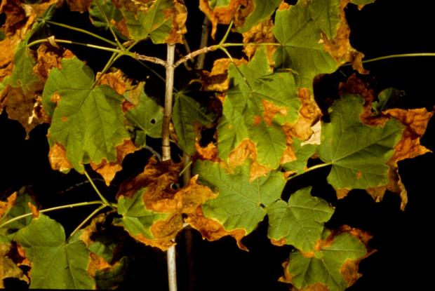 Maple leaf affected by anthracnose disease.