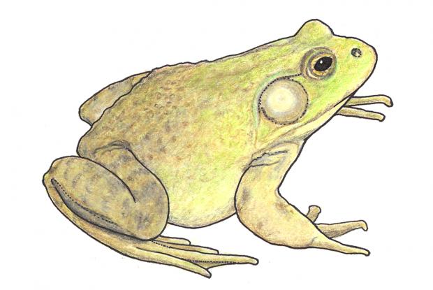 Lithobates catesbeianus (Rana catesbeiana)