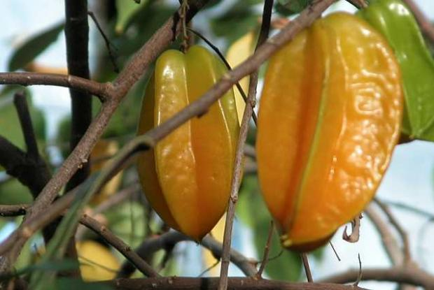 Averrhoa carambola, fruit
