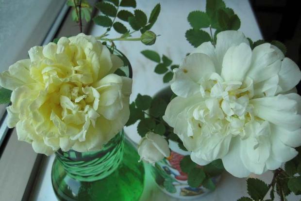 Fleurs coupées (Rosa 'Beauty of Dropmore' et Rosa 'Kilwinning')