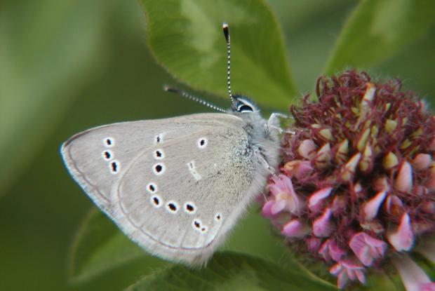 Lycaenidae, Québec, Canada.