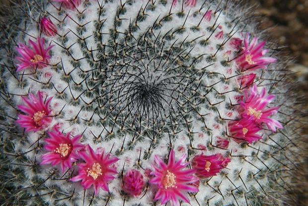 Mammillaria supertexta.