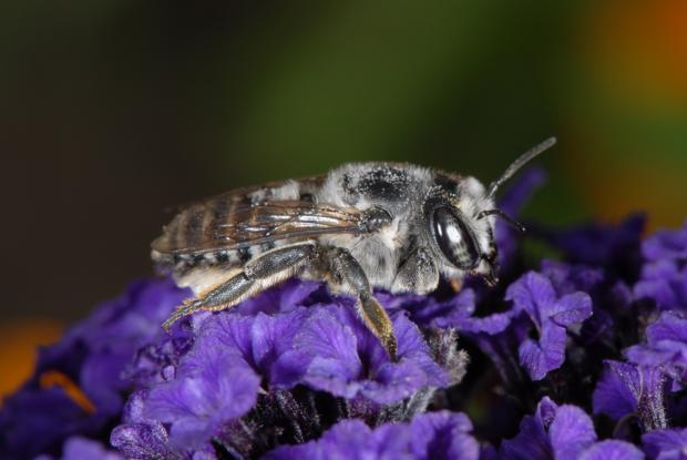 Megachile texana.
