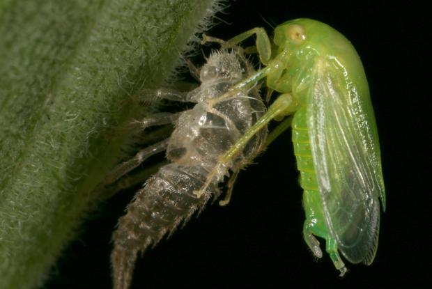 Membracidae, Québec, Canada.