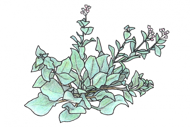 Oysterleaf, sea lungwort   Space for life