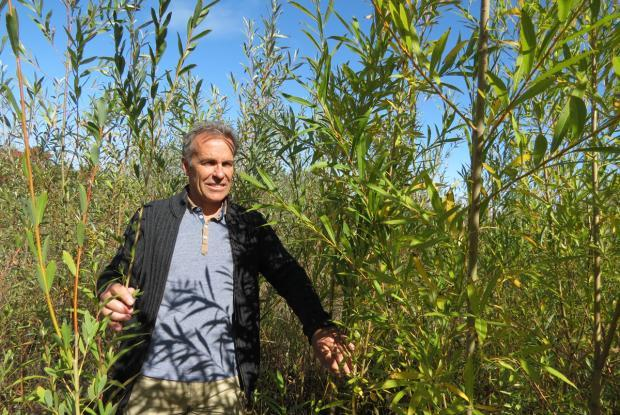 Michel Labrecque in the middle of willows on a phytoremediation site in Varennes, Québec.