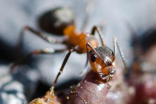 Pharaoh ants | Space for life