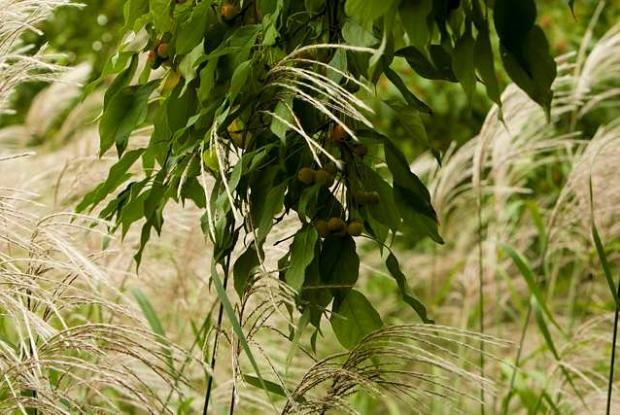 Malus prunifolia and Miscanthus sacchariflorus