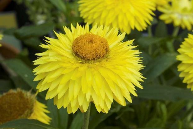 Xerochrysum bracteatum 'Strawbust Yellow'