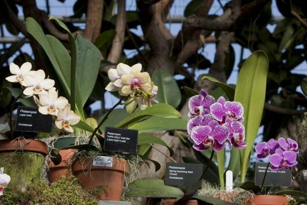 Des orchidées Phalaenopsis