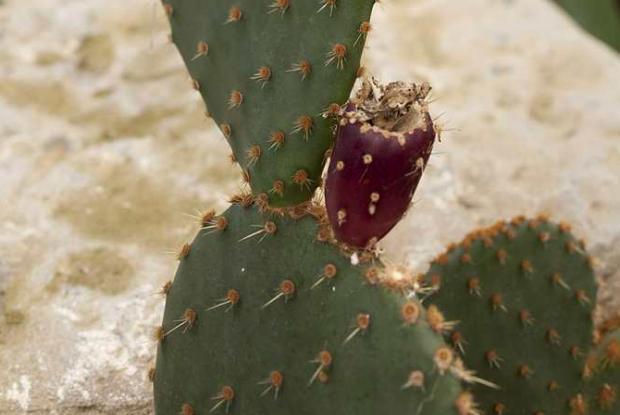 Cactus-raquette (Opuntia sp.) en fruits